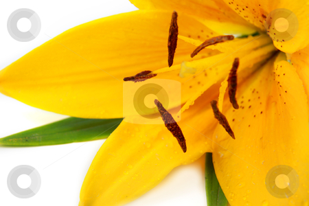 Yellow tiger lily stock photo, Close up shot of tiger lily on white background by Sreedhar Yedlapati