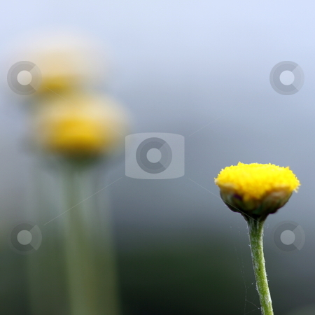 Chamomile stock photo, small flower of chamomile with green blurred background by Henrik Lehnerer