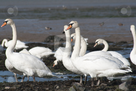 Mute Swans. stock photo, Mute Swans, Cygnus olor, flock in the sun on an estuary. by richsouthwales