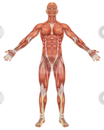 Male Muscular Anatomy Front View stock photo, A illustration of the front view of the male muscular anatomy. Very educational and detailed. by Randall Reed