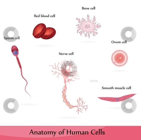 Human Cells Stock Vector