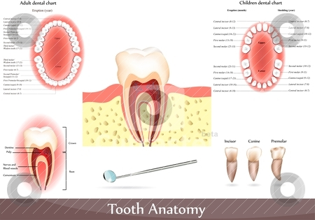 Tooth anatomy stock vector clipart, Great collection of tooth anatomy diagrams.  Beautiful bright colors. Adult dental chart and children dental chart. by megija