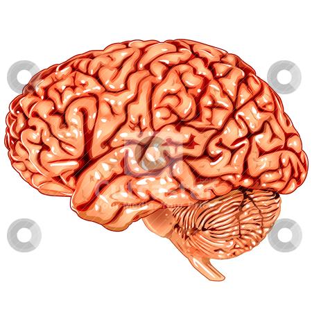 Human brain lateral view stock vector clipart, Illustration body part vector, human brain lateral view by Ilenia Pagliarini
