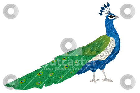 Beautiful peacock stock vector clipart, Beautiful peacock, isolated and grouped objects by Richard Laschon